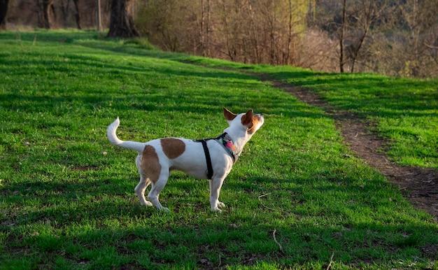 Pies rasy jack russell terrier w lesie na zielonej trawie w kolorowej uprzęży, stoi na trawie pół obrotu i patrzy w górę