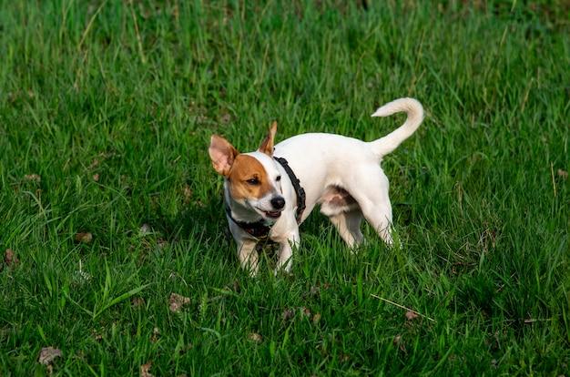 Pies rasy jack russell terrier w lesie na zielonej trawie w kolorowej uprzęży, stoi w zielonej trawie i odwraca wzrok, mrużąc oczy