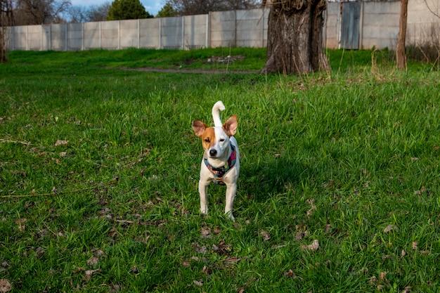 Pies rasy jack russell terrier w lesie na zielonej trawie w kolorowej uprzęży, stoi w zielonej trawie, patrząc w kamerę. za drzewami i ogrodzeniem