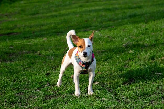 Pies rasy jack russell terrier w lesie na zielonej trawie w kolorowej uprzęży, stoi w zielonej trawie, patrząc w kamerę.
