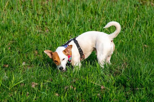 Pies rasy jack russell terrier w lesie na zielonej trawie w kolorowej uprzęży, stojąc, znajdując coś w zielonej trawie i przeżuwając to z na wpół przymkniętymi oczami