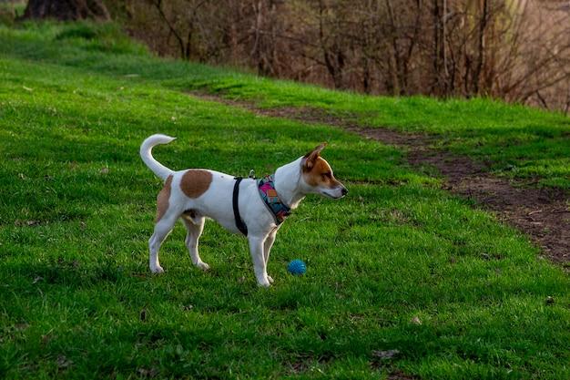 Pies rasy jack russell terrier w lesie na zielonej trawie w kolorowej uprzęży