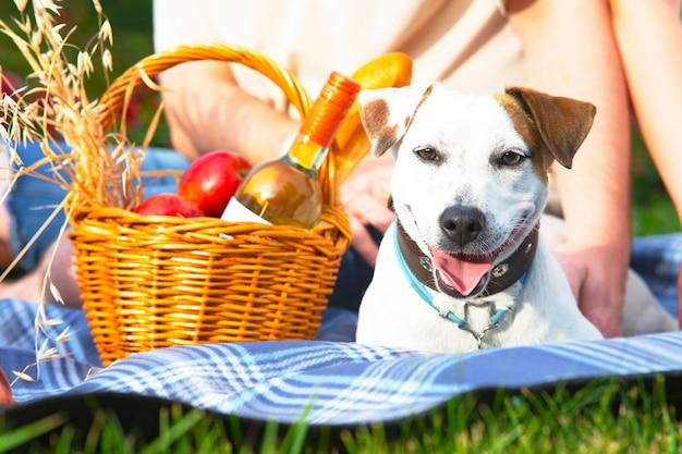 Pies rasy jack russell terrier zbliżenie na piknik w pobliżu kosza z jedzeniem weekend na świeżym powietrzu w...