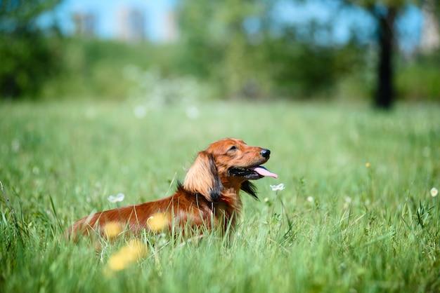 Pies rasy jamnik w lesie na słonecznej polanie.