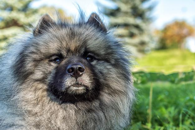Pies rasy keeshond (niemiecki szpic wilczy) na ulicy w słoneczny letni dzień. portrety psa