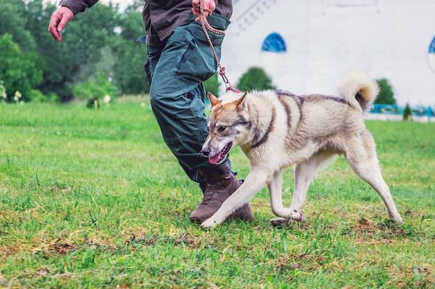 Pies rasy łajka zachodniosyberyjska na spacerze z panem