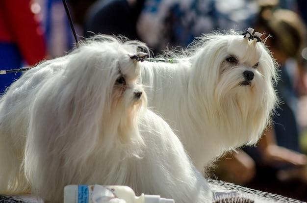 Pies rasy maltański. piękny zadbany pies rasy maltańskiej rasy psów wystawowych. śliczny mały biały pies.