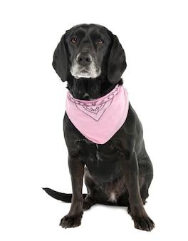 Pies rasy mieszanej między kokerem a labradorem w wieku 5 miesięcy. portret psa na białym tle