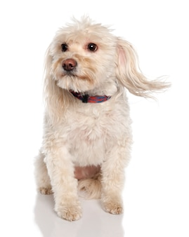 Pies rasy mieszanej między maltańczykiem a kotem de tulear w wieku 5 lat. portret psa na białym tle