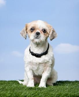 Pies rasy mieszanej między shih-tsu i pekińczykiem na trawie przeciw błękitne niebo