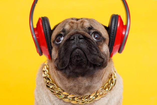 Pies rasy mops słuchający muzyki w słuchawkach na żółtym tle