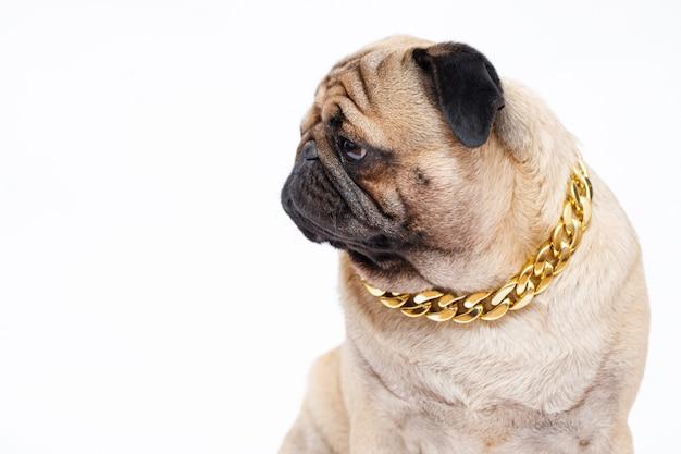 Pies rasy mops uroczy pies w złotym łańcuszku na białym tle
