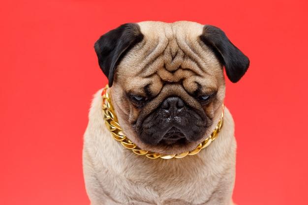 Pies rasy mops uroczy pies w złotym łańcuszku na czerwonym tle