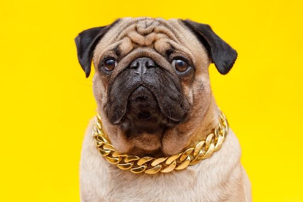 Pies rasy mops uroczy pies w złotym łańcuszku na żółtym tle