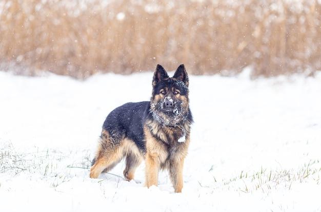 Pies rasy owczarek niemiecki podczas opadów śniegu