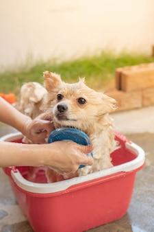 Pies rasy pomeranian lub mały został wzięty przez właściciela pod prysznic i stanął w czerwonym wiadrze