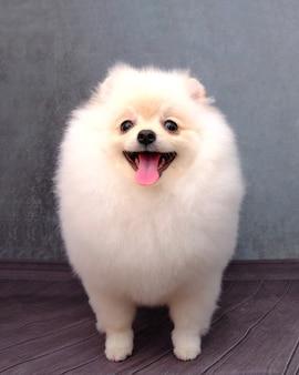 Pies rasy pomorskiej biały kolor po pielęgnacji na szarym tle