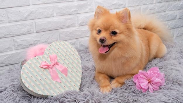Pies rasy pomorskiej leży na kudłatym dywanie z wyciągniętymi przed nim łapami.