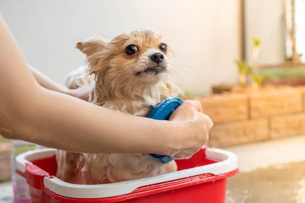 Pies rasy pomorskiej lub małej rasy został wzięty przez właściciela pod prysznic i stał w czerwonym wiaderku, które ustawiało się na betonowej podłodze