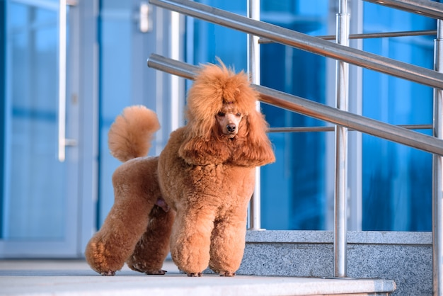 Pies rasy pudel brzoskwiniowy kolor stoi w centrum handlowym.