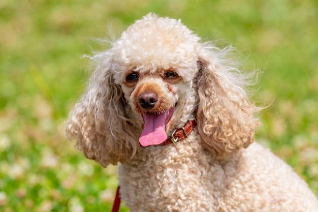 Pies rasy pudel z jasnym futrem z bliska na tle zielonej trawy