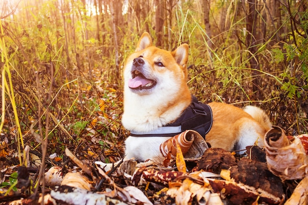 Pies rasy shiba in na jesiennej naturze.