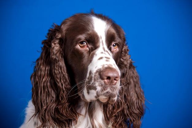Pies rasy springer spaniel angielski na niebieskim tle. kufa z bliska, ekspresyjny wygląd w aparacie.