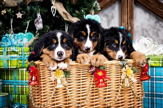 Pies rasy szczeniak berneński, boże narodzenie i nowy rok
