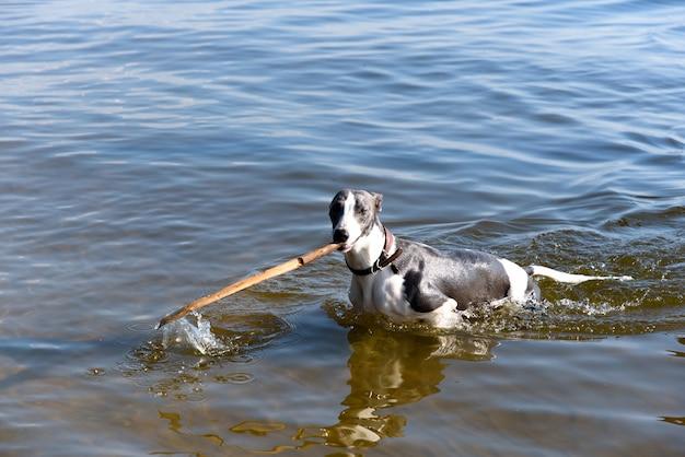 Pies rasy whippet w wodzie bawi się kijem