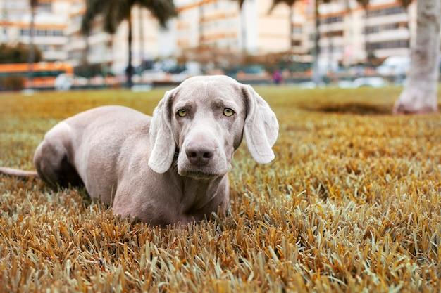 Pies rasy wyżeł weimarski, siedząc na trawniku w parku jesienią
