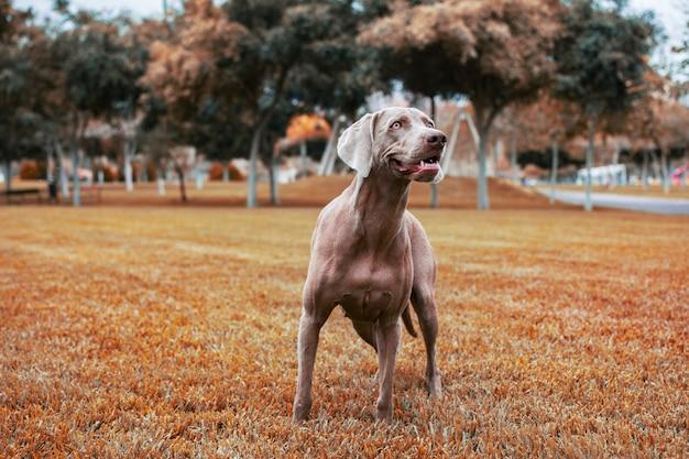Pies rasy wyżeł weimarski stojący na łące w pięknych kolorach jesieni.