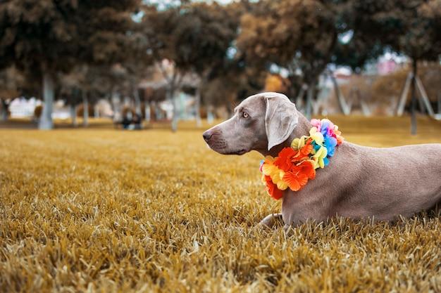 Pies rasy wyżeł weimarski w pięknym jesiennym krajobrazie z pięknymi ochrowymi kolorami.