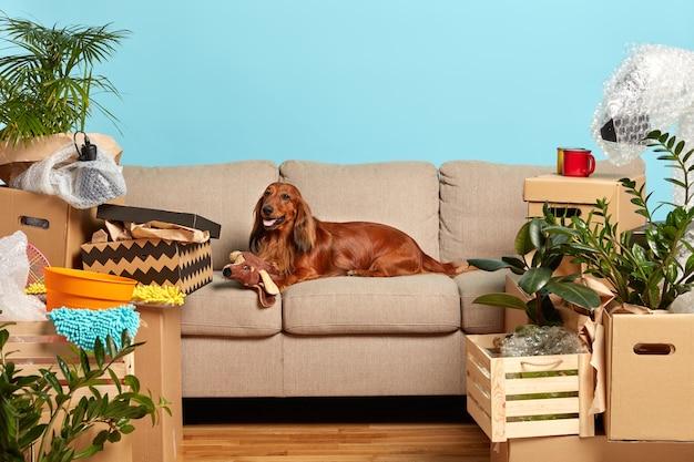 Pies rodowodowy leży na wygodnej sofie, bawi się pluszakiem, czeka na właścicieli w nowym mieszkaniu, otoczony kartonami pełnymi domowych rzeczy