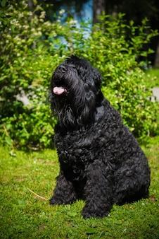 Pies rosyjski czarny terier na charakter. sierść psa jest twarda i gęsta.