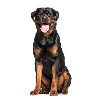 Pies rottweiler siedzi i dyszy, wycięty