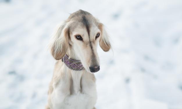 Pies saluki siedzi w zimowym lesie z bliska portret.