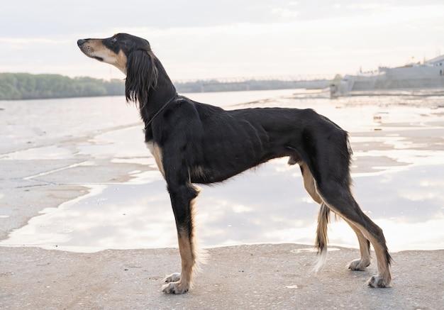 Pies saluki stojący w pobliżu brzegu rzeki