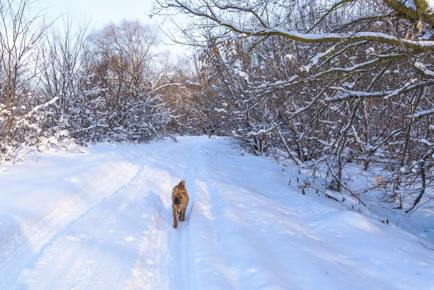 Pies shar pei, spacer po zimowym lesie.