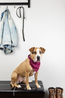 Pies siedzi i czeka na spacer w holu wejściowym. szczeniak staffordshire terrier w korytarzu domu lub mieszkania przygotowuje się do wyjścia na zewnątrz