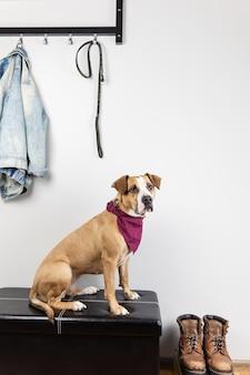 Pies siedzi i czeka na spacer w holu wejściowym. szczeniak staffordshire terrier w korytarzu domu lub mieszkania przygotowuje się do wyjścia
