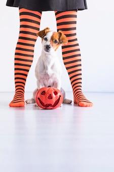 Pies siedzi na podłodze z dynią poza tym i jej właścicielem. kobieta ubrana w czarne i pomarańczowe rajstopy. koncepcja halloween. styl życia w pomieszczeniu