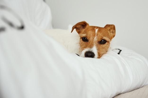 Pies śpi i odpoczywa w łóżku