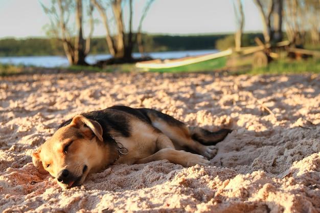 Pies śpi na piaszczystej plaży na wakacjach