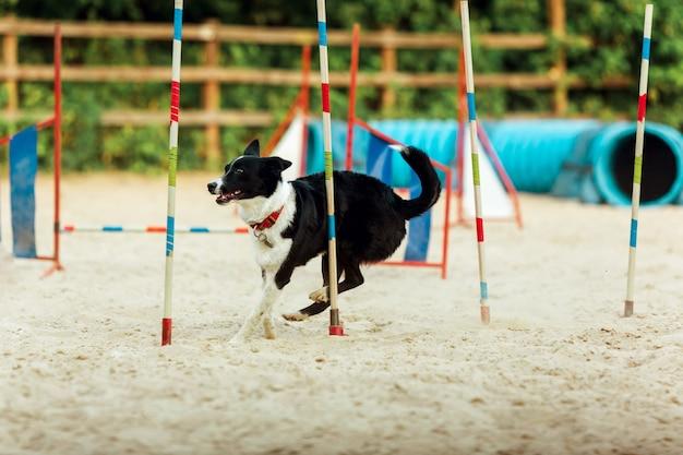 Pies sportowy występujący podczas pokazu w konkursie