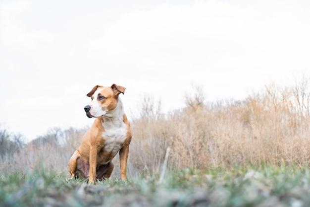 Pies staffordshire terrier cieszy się pięknym wiosennym dniem na łące lub w parku