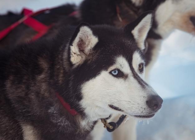Pies syberyjski z uprzężą na szyi