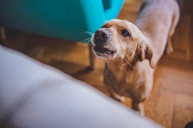 Pies szczeka w domu