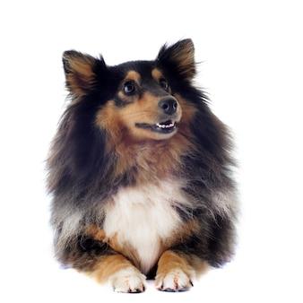 Pies szetlandzki