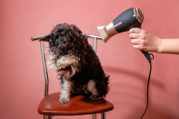Pies sznaucer na różowym tle i suszarka do włosów w kobiecej dłoni, pies boi się suszyć wełnę