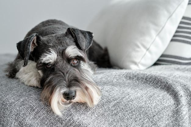 Pies sznaucer siedzący na kanapie